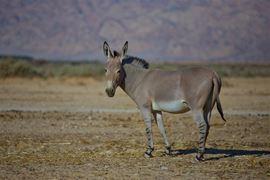 Bild von Ein Esel in der Negev