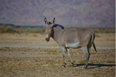 Picture of A Donkey in the Negev
