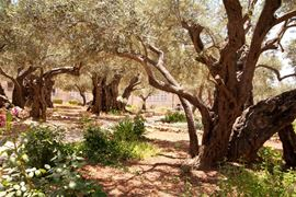 Picture of Picture of a Olive trees in Getshemane