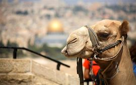 Picture of Picture of a camel in Jerusalem