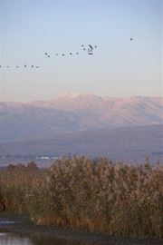 Picture of Picture of the crane birds in the Hula Valley