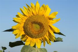 Picture of Picture of Sunflower
