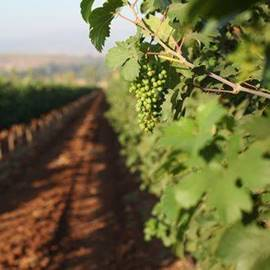 Grapes in Kfar Tavor - ענבים בכפר תבור