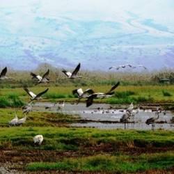עגורים עפים - Flying cranes