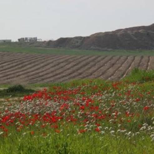 פריחת כלניות - Blooming anemones