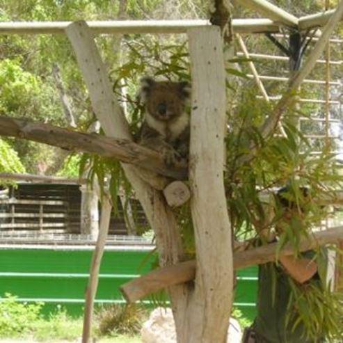 קואלה - Koala