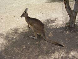 קנגרו - Kangaroo