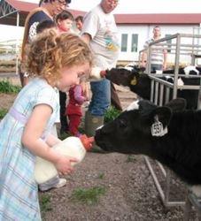 ילדה מאכילה עגל - Girl feeds a calf