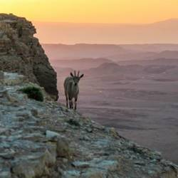 יעל ברקע המכתש - Mountain goat in crater background