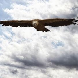 נשר מרחף - Flying eagle