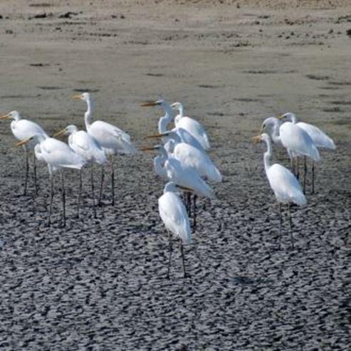 עגורים  - Cranes