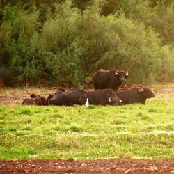 ג'מוסים בשמורת החולה - Buffalo in the Hula Nature Reserve