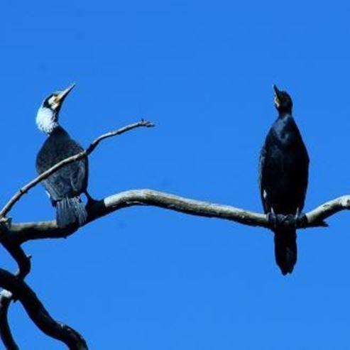 קורמורנים - Cormorants