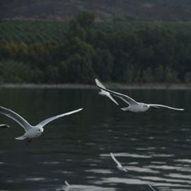 ציפורים בכנרת