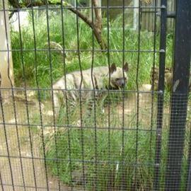 צבוע - Hyena