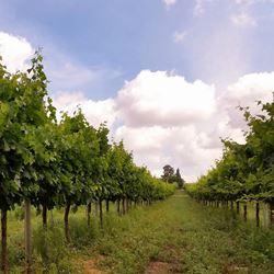 כרם הענבים - The Grape Vineyard