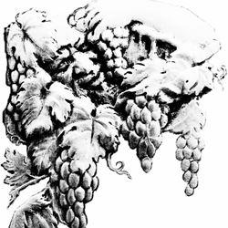 ענבים בשחור לבן - Grapes in black and white