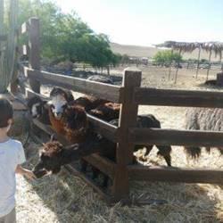 חוות האלפקות - Alpaca Farm