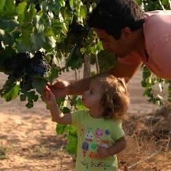 ילד ומבוגר קוטפים ענבים - Child and adult pick grapes