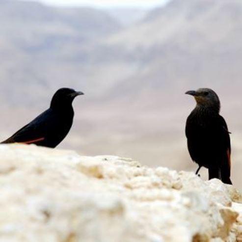 ציפורים בנגב - Birds in the Negev