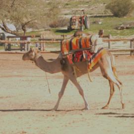 חוות הגמלים - Camels Farm