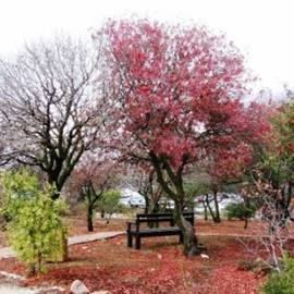 עץ בצבע סגול - A purple-colored tree
