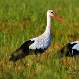 חסידה - Stork