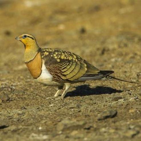 קטה חדת זנב במרכז הצפרות - A sharp tail in the bird watching center