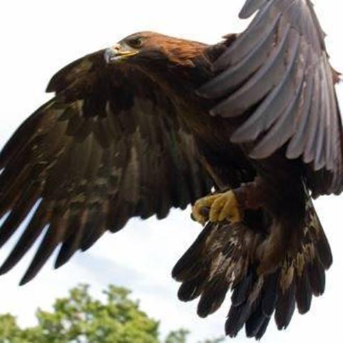 עיט זהוב - Golden Eagle