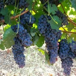 ענבי הכרם - The grapes of the vineyard