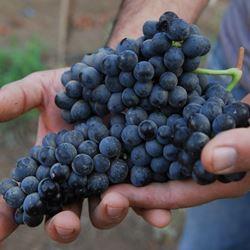 ענבים - Grapes