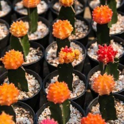 קקטוסים בחוות הקקטוסים - Cacti in cactus farms