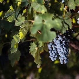כרם ענבים - Vineyard