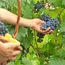 ענבים בכרם - Grapes in the vineyard