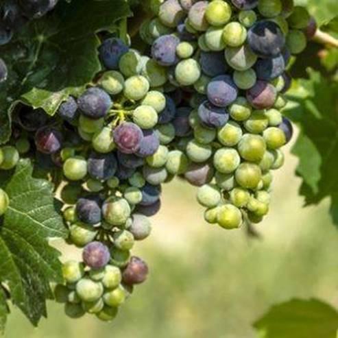 אשכול ענבים בכרם - Bunch of grapes in the vineyard