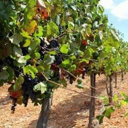 vineyard - כרם ענבים
