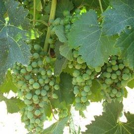 אשכול ענבים - Bunch of grapes