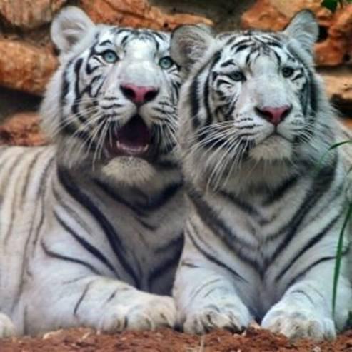 טיגריסים - Tigers
