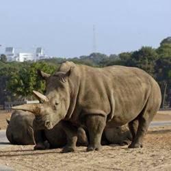 קרנף בסאפרי - Rhino in the Safari