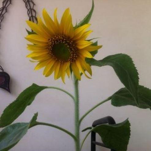 חמניה - Sunflower