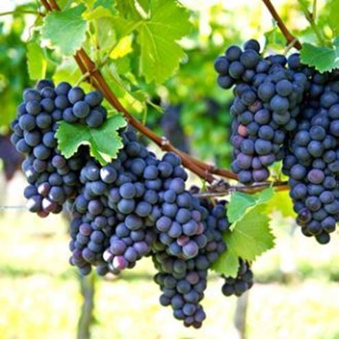 כרם ענבים - Grape Vineyard