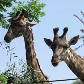 ג'ירפות ב'חי פארק'- קריית מוצקין - Giraffes at 'Chai Park' - Kiryat Motzkin