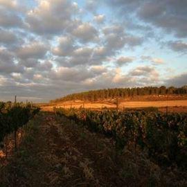 כרמים - Vineyards