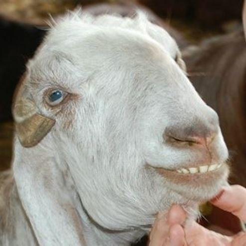 עז - Goat