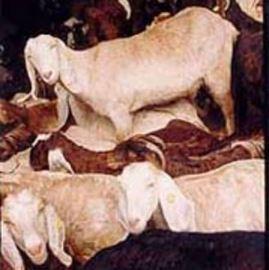 עזים- Goats