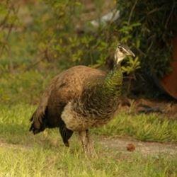 חיים הטווס - the peacock haim