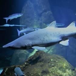 כריש - Shark - Shark