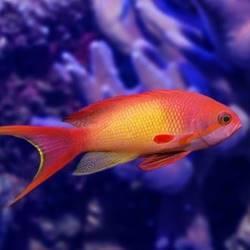 דג זהב - Goldfish - Goldfish