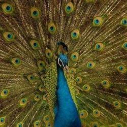 טווס- Peacock