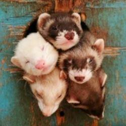 חמוסים - Ferrets
